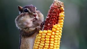 бурундук и кукуруза