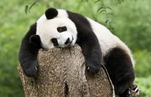 панда на пне
